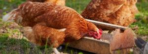 Chicken Feeder South Auckland